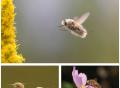 11 il existe 4500 espèces de mouches différentes.Celle ci; la mouche abeille (Bombyliidae) est la plus mignonne de toutes.Cet aspect la protège des espèces prédatrices qui ne se nourrissent pas d'abeilles pour ne pas se faire piquer.